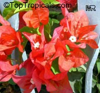 Bougainvillea sp., Bougainvillea