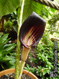 Arisaema speciosum, Cobra Lily, Double Whip Cobra Lily