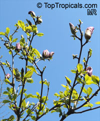 Magnolia sp., Magnolia hybrid