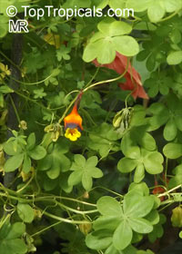Tropaeolum tricolor, Chilean Nasturtium, Three-coloured Indian Cress