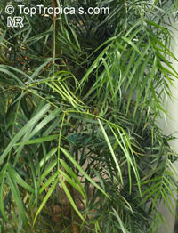 Afrocarpus mannii, Podocarpus mannii, Afrocarpus