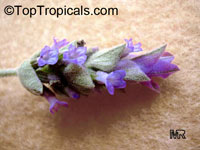 Lavandula dentata, French Lavender