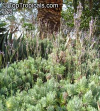 Lavandula canariensis, Canary Island Lavender