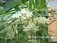 Asclepias physocarpa, Swan Plant, Balloon Plant, Family Jewels Milkweed Tree