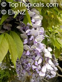 Wisteria sp., Chinese Wisteria, Japanese Wisteria, American Wisteria