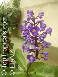 Dichorisandra thyrsiflora, Blue Ginger, Brazilian Ginger