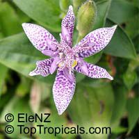 Tricyrtis sp., Toad LilyClick to see full-size image
