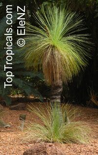 Xanthorrhoea sp.