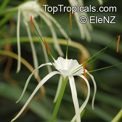 spider lily planting instructions