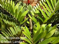 Zamia furfuracea, Cycad, Cardboard Palm