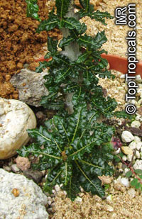 Boswellia sp., Boswellia