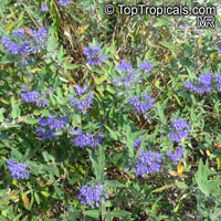 Caryopteris × clandonensis, Bluebeard, Blue Spirea, Blue Mist shrub