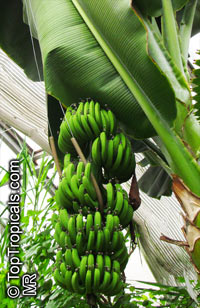 Musa - Banana Orinoco
