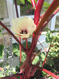 Abelmoschus esculentus, Hibiscus esculentus, Okra, Bamia, Gombo  Click to see full-size image