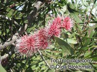 Hakea multilineata, Grass-leaved Hakea