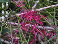 Hakea verrucosa , Warty-fruited Hakea Click to see full-size image