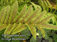 Acrostichum aureum, Piai Raya, Golden Leather Fern, Mangrove Fern 