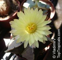 Astrophytum sp. , Star Cactus