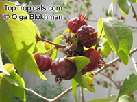 Eugenia uniflora, Eugenia michelii, Surinam Cherry, Pitanga, Brazilian Cherry