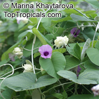 Argyreia nervosa, Argyreia speciosa, Elephant creeper; Woolly Morning Glory, Hawaiian Baby Woodrose