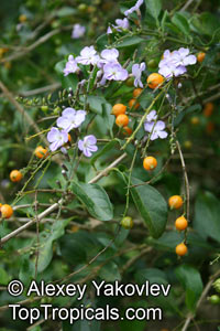 Duranta erecta, Duranta repens, Duranta, Honey Drops, Golden Dewdrop, Pigeon Berry