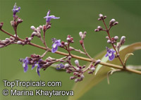 Vitex negundo - seeds