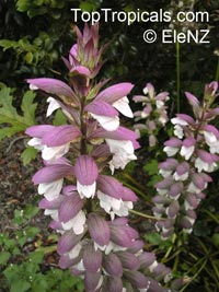 Acanthus sp., Acanthus, Bear's BreechesClick to see full-size image