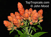 Aphelandra sinclairiana, Orange Shrimp plant, Coral Aphelandra, Panama Queen