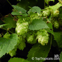 Humulus lupulus, Hops, Common Hop