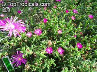 Trichodiadema sp., African Bonsai, Miniature Desert RoseClick to see full-size image