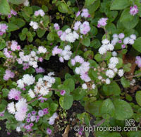 Ageratum houstonianum, Flossflower