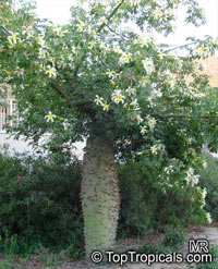 Chorisia insignis, Ceiba insignis, White Floss Silk Tree, Drunken Tree