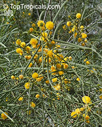 Acacia sp., Prickly Moses, Khair  Click to see full-size image