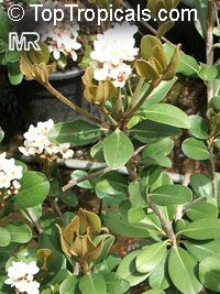 Rhaphiolepis umbellata, Raphiolepis umbellata, Yeddo Hawthorne