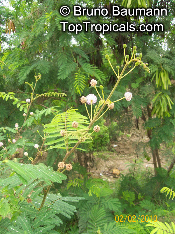 Mimosa pigra, Giant Sensitive TreeClick to see full-size image