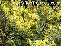 Acacia melanoxylon, Blackwood