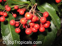 Ardisia crispa - seeds
