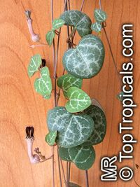 Ceropegia linearis subsp. woodii, Rosary Vine, Chain of hearts