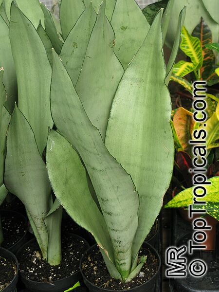 Sansevieria Trifasciata Birds Nest Sanseviera Mother In Law Tong Toptropicals Com