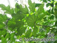 Trevesia burckii, Snow Flake Tree, Ghost's FootClick to see full-size image