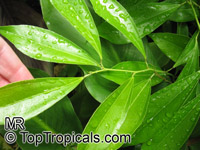 Cocculus laurifolius, Laurel-leaf Snailseed