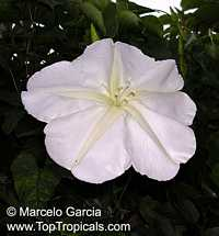 Calonyction aculeatum, Ipomoea alba, Giant moonflower
