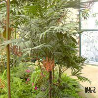 Chamaedorea elegans, Collinia elegans, Neanthe bella, Parlour Palm