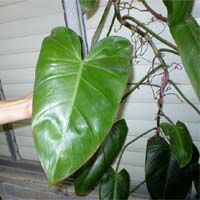 Philodendron erubescens, Blushing Philodendron, Redleaf Philodendron