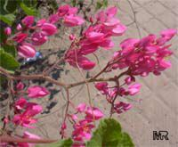 Antigonon (Antigon, Antigonum) leptopus, Mexican Coral Vine, Coral Creeper, Honolulu Creeper, Corallita, Chinese Love Vine