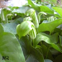 Arisarum vulgare, Friar's Cowl