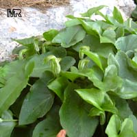 Arisarum vulgare, Friar's CowlClick to see full-size image