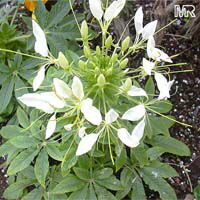 Cleome hasslerana, Cleome spinosa, Spider Flower, Crown Flower
