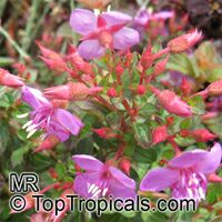 Centradenia sp., Spanish ShawlClick to see full-size image