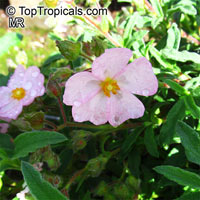 Cistus sp., Rockrose